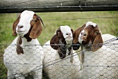 Goats by the fence in a field