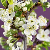 Branches of plum blossom (close-up)