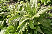Asparagus lettuce, 'Roter Stern' variety