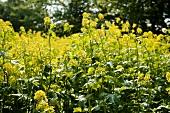 Flowering yellowing mustard plants