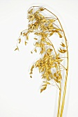 A panicle of oats