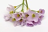 Blüten vom Wiesenschaumkraut