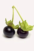 Jaltomato (tomato variety with black, cherry-sized berries)