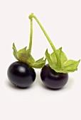 Jaltomato (tomato variety with black, cherry-sized berries)