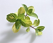 Ginger mint (Mentha gentilis 'Variegata')