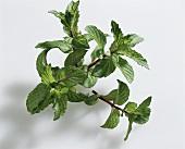 English peppermint (Mentha x piperita 'Mitcham')