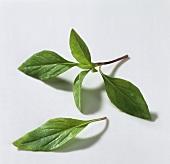 Thai basil, 'Siam Queen' (Ocimum basilicum)