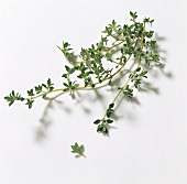 Lavender thyme (Thymus thracicus)