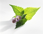 Korean mint (Agastache rugosa)
