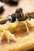 Bees building a honeycomb