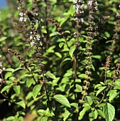Flowering basil in garden