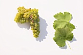 White wine grapes, variety 'Albalonga'
