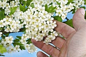 Hand touching May blossom (hawthorn flowers)