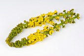 Flowering agrimony