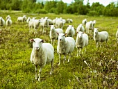 Sheep in a pasture in Sweden