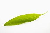 A ribwort plantain leaf