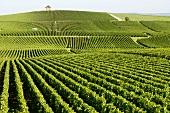 Densely planted vineyard near Cramant, Côtes des Blanc, Champagne