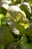 Mustard greens (Brassica juncea 'Red Giant')