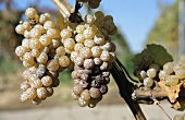 Grapes sprayed with lime