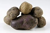 Several potatoes, variety 'Hermanns Blaue'