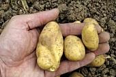 Hand holding potatoes, variety 'Emma'