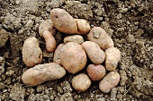 Several potatoes, variety 'Mr. Bresee' on the ground