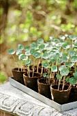 Young nasturtium plants in pots