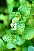 Fresh mint with flower