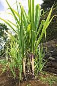 Sugar cane plants