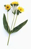 Arnica (Arnica montana, flowering)