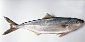 Yellowtail kingfish (Seriola lalandi)