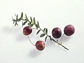 Cranberries (Vaccinium macrocarpon)