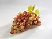 Grapes, variety 'Piroschka'