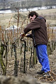 Man pruning vines
