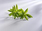 Lemon verbena (Lippia triphylla, Aloysia triphylla)