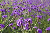 Mexican hyssop in the field