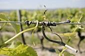 Tied-in grape vine