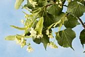 Lindenblüten am Zweig