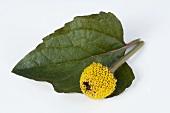 Para cress (Spilanthes oleracea)