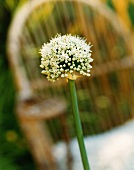 Spring onion flower