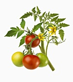 Stalk of tomato plant with ripe & unripe tomatoes & flowers