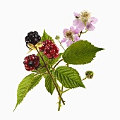 Blackberry stalk with blackberries and flowers