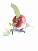 An apple with a twig
