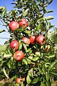 Braeburn apples on the tree