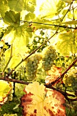 Silvaner grapes among vine leaves on the vine