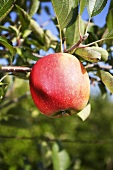 A Braeburn apple on the tree