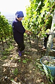 Woman picking Silvaner grapes in vineyard (Franconia, Germany)