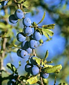 Fresh damsons hanging on the tree