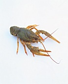 A European freshwater crayfish