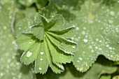 Lady's mantle leaves with drops of water